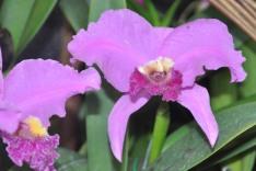 orchid, orquidea